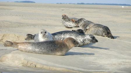 Marée, Baie d'Authie, phoques, Phoques veaux marins, Phoques gris, sortie, guide, spécialiste, oiseaux, dunes, Berck sur mer, Berck plage, Côte Picarde