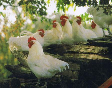 Poules de Bresse