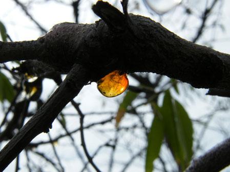 Ein Harztropfen auf einem Mandelbaum- Foto: Vesna Rau