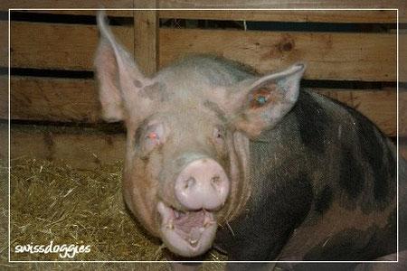 Gertrude - das lachende Schwein