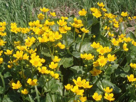 """Sumpfdotterblume - eine Charakterpflanze des NSG """"Eschschallen"""""""