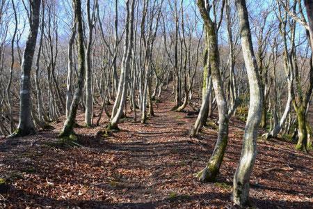 思いの外若木のブナ林が続く  帰ってから高島トレイルの地図で確認すると明神谷から登るとブナの巨木群を通るとのこと。おしいことをした。