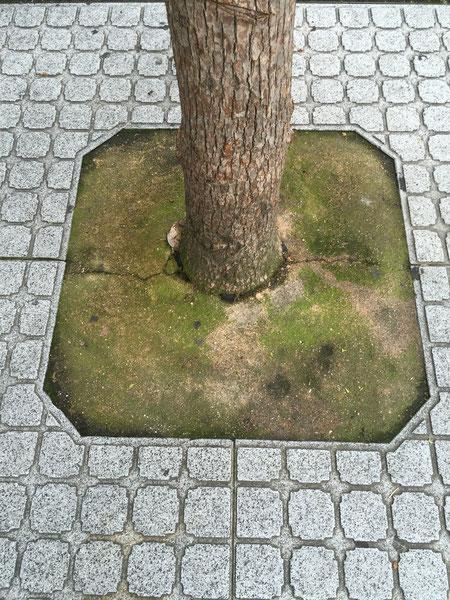 違和感の原因はこちら。植物の上根がある重要な部分を舗装材で埋めてしまっている。植木屋の常識を超える事態が発生している!