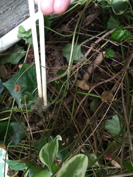 落ちてしまいましたが、藪の中へ入っても箸ならば探してキャッチできます