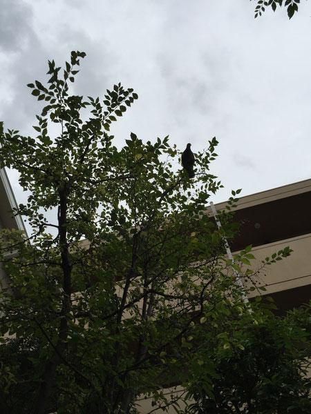 鳩はエゴの実を沢山食べるようです。