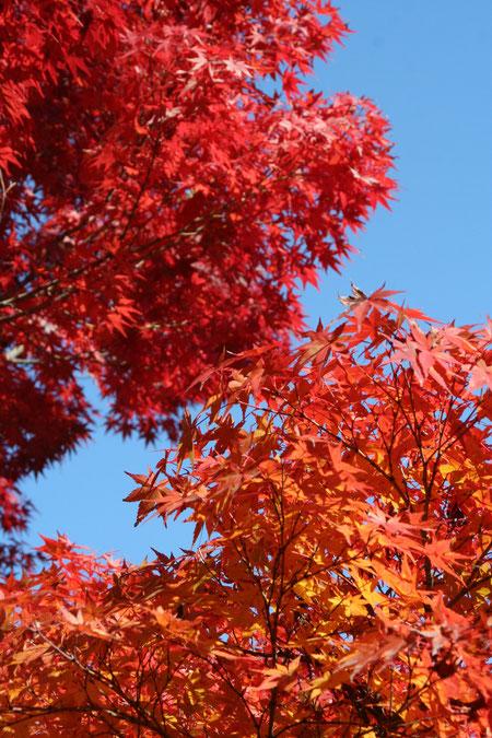 紅葉の素晴らしい植木1位 イロハモミジ