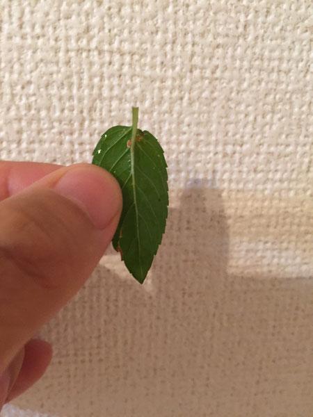ミントでも、たまには色が悪いものや虫に食われてしまっている葉もある。