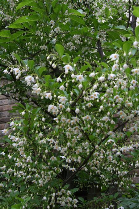 エゴノキは放っていても、毎年白い花がたくさん咲く。手間要らずの植木だ。