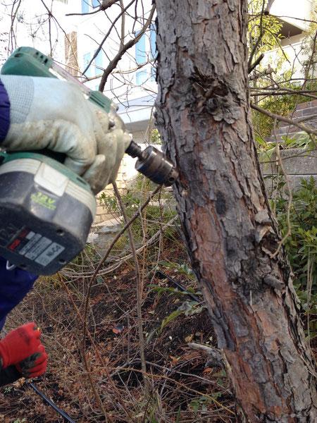 松に松枯れ防止剤を注入する為に幹にインパクトドライバーで穴をあける