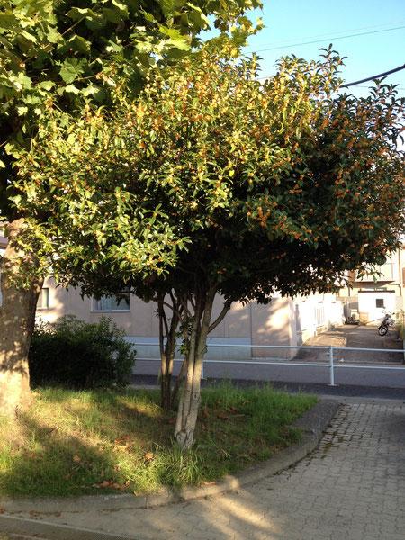 公園に植えられたキンモクセイ 街中がすばらしい香りです