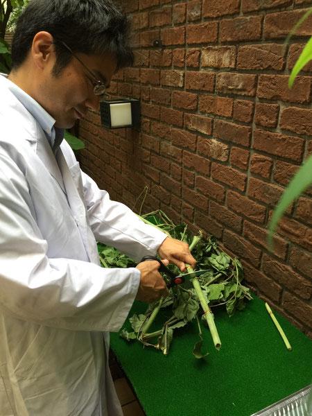 イタドリは茎を食べるそうなので適当な大きさにキッチンバサミで切っていきます。