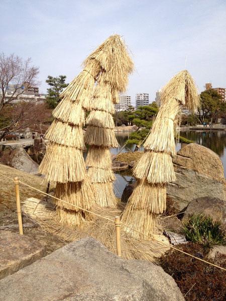 ソテツの冬養生 コモの巻き方 京都 二条城庭園風