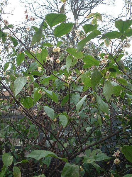 イギリスの植物園で見つけた常緑のロウバイ
