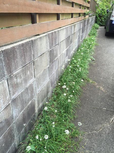 コンクリートの隙間に生えたニラ