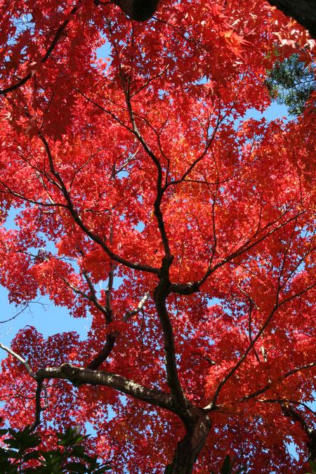 美しい赤色のイロハモミジ