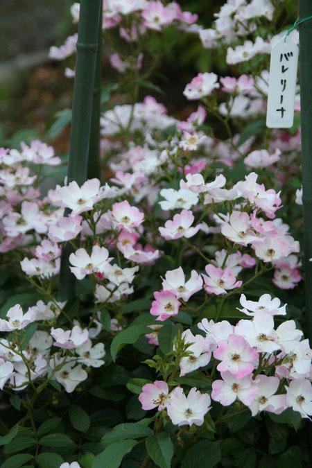 こちらのバレリーナを昔育てていました うすいピンクに縁取られた白い花は本当に可愛い