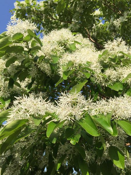 葉っぱの上に乗るように咲く花 ナンジャモンジャ