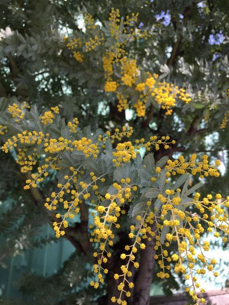 一年で伸びた枝に花芽をつける と言う事は花がついている枝葉一年でこれだけ伸びたという事