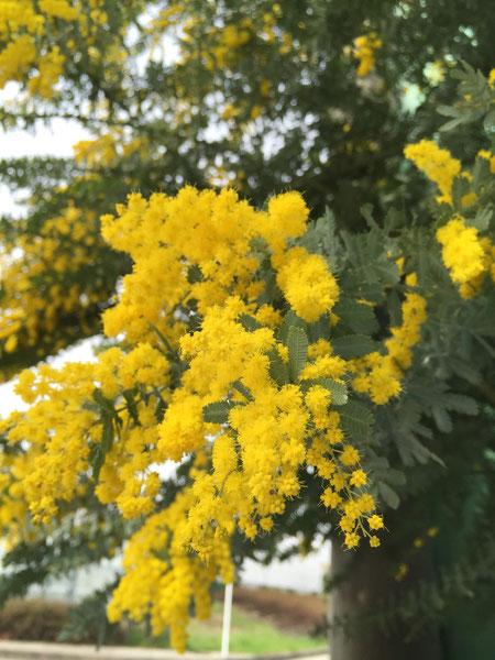 ほわんと可愛いミモザの花 今日はミツバチが相当ぶんぶん飛んでいました 守山区で有名な養蜂場へ飛んでいくのかしら?