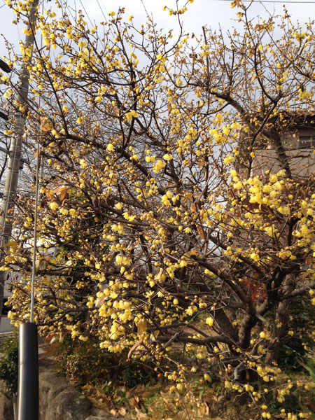 素晴らしい香りのロウバイ 黄色の鮮やかな花も魅力の一つ
