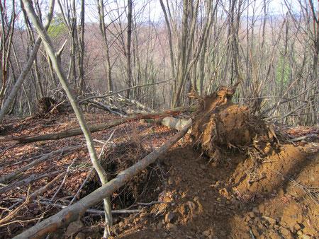 Une preuve du passage de Costanzo à l'orée de la forêt du Bager d'Oloron avec déjà des dégâts considérables
