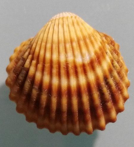 Acanthocardia tubercolata, Santa Severa.
