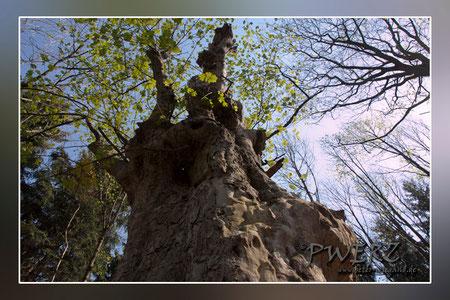 Alter Baum ...Jahre?