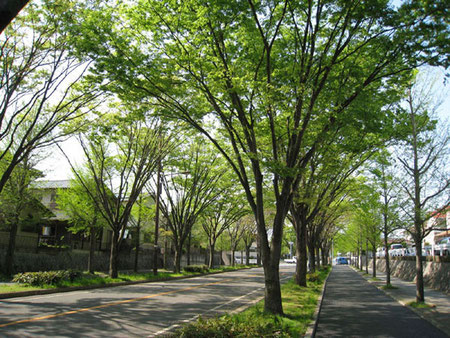 新林通のケヤキ並木