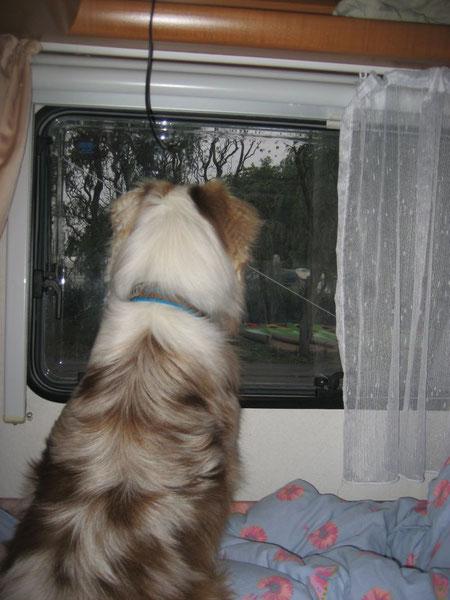 Ginger beobachtet die Hasen