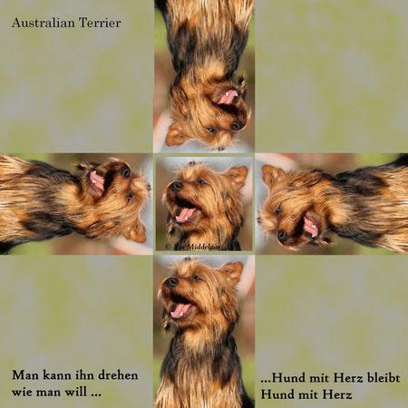 Australian Terrier www.von-den.grauen anfurten.nl