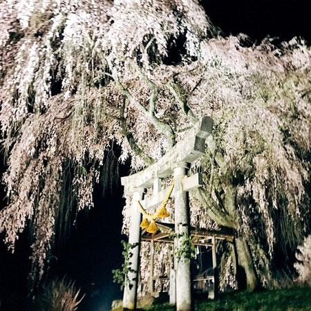 黒川地区天満神社の枝垂れ桜ライトアップ