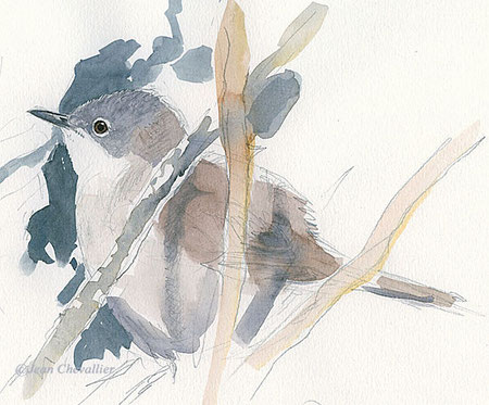 lesser whitethroat warbler
