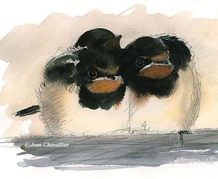 jeunes hirondelles de cheminée hirundo rustica aquarelle Jean Chevallier