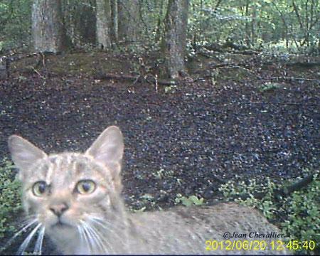 felis sylvestris wild cat