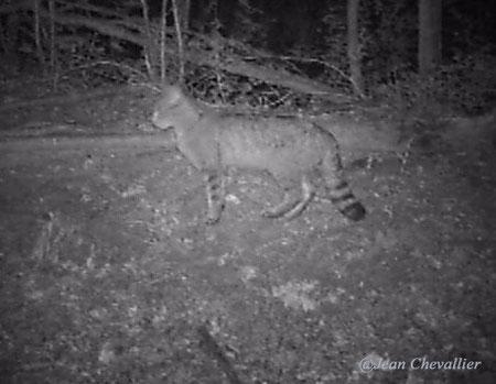 wild cat , felis sylvestris