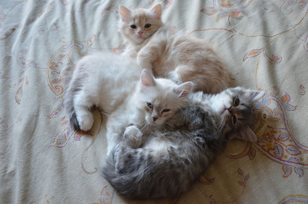 Aleydis Terre del Nord - allevamento gatto siberiano