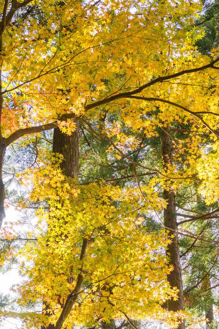 京都大原三千院の黄色いモミジ