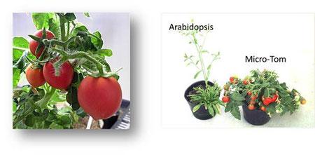 マイクロトムはシロイヌナズナを育てるスペースがあれば育てられる手軽なトマトです。