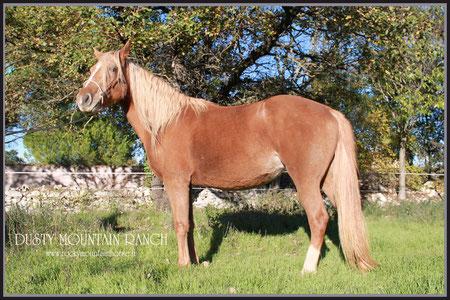 dusty mountain ranch rocky mountain horse montpellier france etalon chaval hongre jument poulain pouliche chevaux noir chocolat taffy à vendre vente vends saillie PRECIOUS BABE tolt gait amble