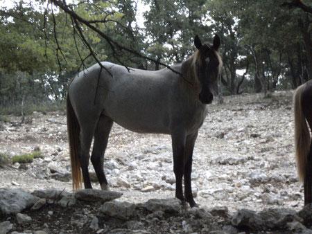 dusty mountain ranch rocky mountain horse montpellier france etalon chaval hongre jument poulain pouliche chevaux noir chocolat taffy à vendre vente vends prix tarif saillie zioske'n winie amble