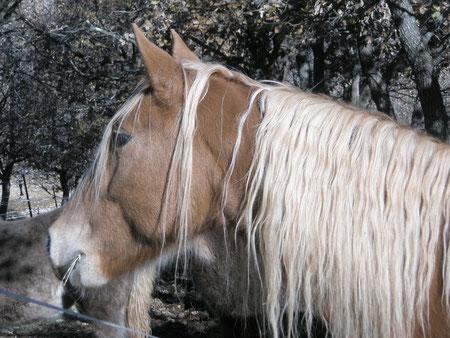 dusty mountain ranch rocky mountain horse montpellier france etalon chaval hongre jument poulain pouliche chevaux noir chocolat taffy à vendre vente vends prix tarif saillie tolt PRECIOUS BABE