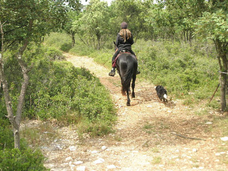 dusty mountain ranch rocky mountain horse montpellier france etalon chaval hongre jument poulain pouliche chevaux noir chocolat taffy à vendre vente vends prix tarif saillie tolt dusty's midnight blu