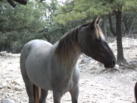 dusty mountain ranch rocky mountain horse montpellier france etalon chaval hongre jument poulain pouliche chevaux noir chocolat taffy à vendre vente vends prix tarif saillie zioske's winnie tolt gait