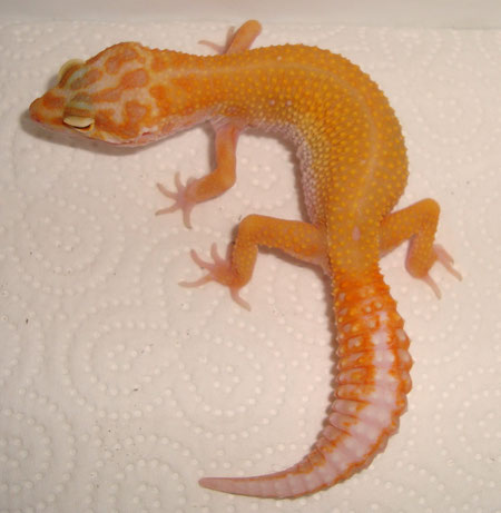 Red Petternless Stripe Tremper Albino female