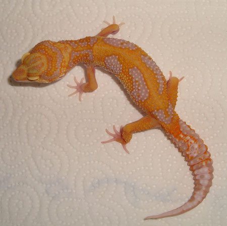 Red Stripe/Jungle Tremper Albino female