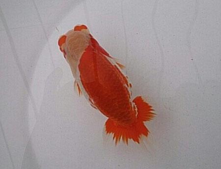 平成25年度・日本らんちゅう協会全国大会 当歳魚の部・西大関