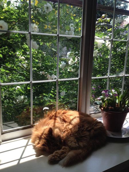 2014・5 日差しが温かい出窓で・・・外にはアイスバーグが咲いてます。