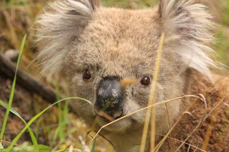 """""""Unser"""" Koala - ganz zahm, ganz zutraulich"""