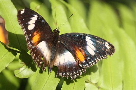 Nur einer von vielen wunderschönen Schmetterlingen