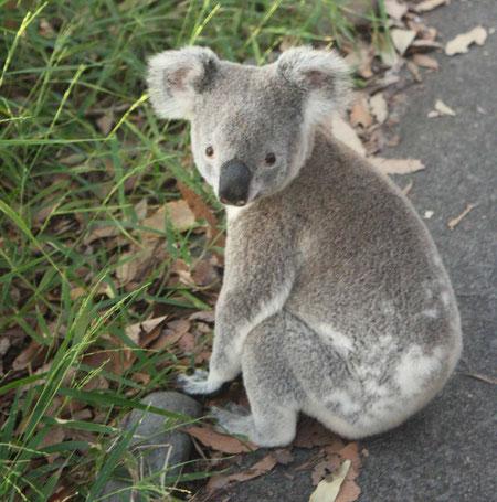 Unsere erste Begegnung mit einem Koala in freier Wildbahn